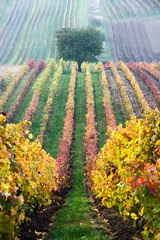 Vineyards in the fall with tree,  South Moravia