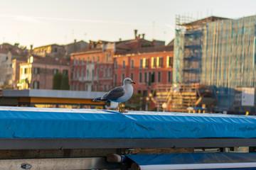Seagull portrait in Venice Italy