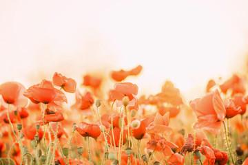 Poppies flowers outdoor.
