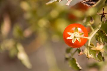 Mature cherry tomatoes.