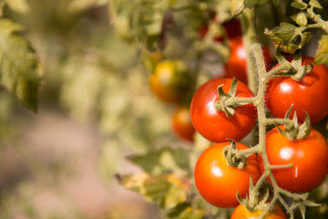A cluster of cherry tomatoes on the plant.