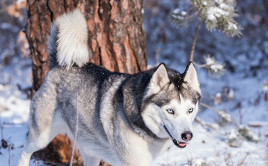 Siberian Husky hunts in the winter forest.