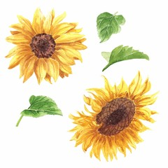 Hand drawn watercolor sunflower set with green leaves isolated on white background. Botanical realistic illustration.