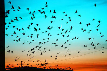 Groups of birds flying above roof at sunset on moon background. Birds silhouettes above building silhouettes. Lunation month. Glowing multicolor dawn sky. Many birds migrate south in autumn.