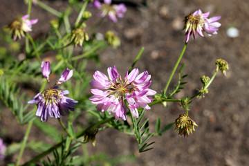 Securigera varia plant