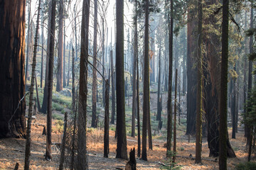 Aftermath of Fire in Forest with Burned Tree Grove