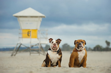 Two English Bulldog sitting on sand beach with lifeguard tower in background