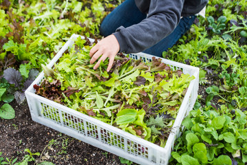 Salad greens being harvested on an urban farm