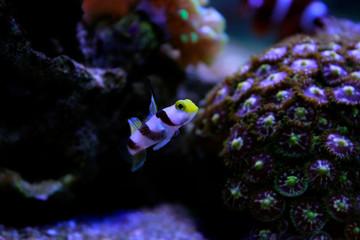 Long fin goby fish in reef aquarium