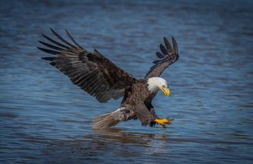 Poster Eagle american bald eagle in flight