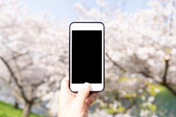 using smart phone to taking photo to cherry blossom