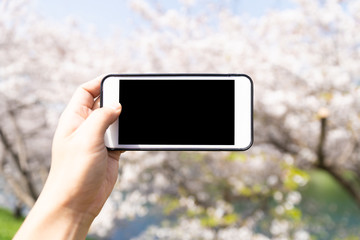 using smart phone to taking photo to cherry blossom
