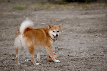 柴犬・笑顔