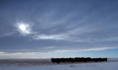 Cows in Canadian Prairies
