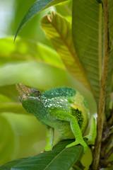 first chameleon II