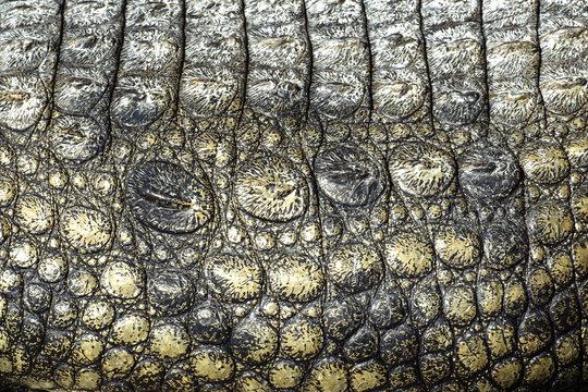Skin texture Crocodile