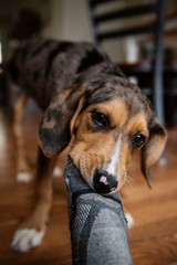 Hound Puppy Dog Chewing on Sock