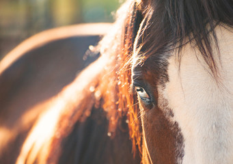 Horse With Blue Eyes, Purebred Horse, Beautiful Horse Portrait