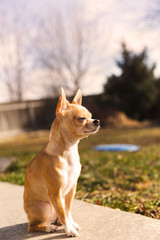 Purebred Chihuahua Puppy, Cute Dog Sitting Outside, Adorable Puppy