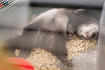 cute baby ferrets tired or bored polecat resting in his cage