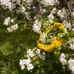 Closeup of blossoming apple tree branches with a dandelion wreath. Spring concept