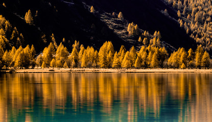 Wall Mural - yellow larch trees line the shores of a calm mountain lake with reflections of fall colors