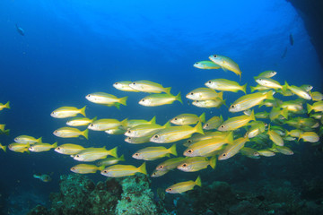 Fish school on coral reef underwater