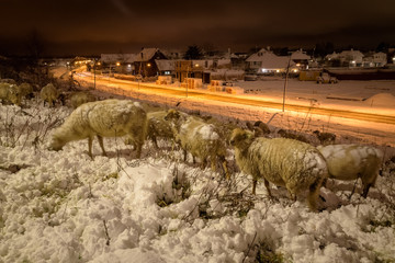 A flock of sheep in wintertime in the snow near a town and road at nighttime