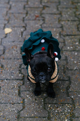 Cute french bulldog in christmas dress on the street