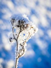 frozen flower, covered with ice crystals in late fall