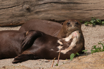 Giant otter resting on a river bank. A rare mammal occurring in South America.