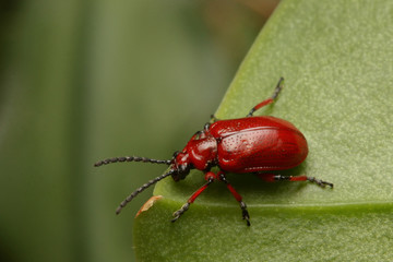 Scarlet shining leaf beetle on a close up horizontal picture with green background. A common European species cometimes acting as a pest in the gardens.