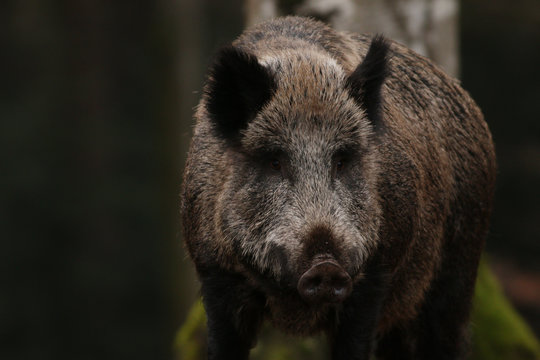 Wild boar on a close up horizontal picture. A common mammal inhabiting European and Asian forests.