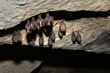 Colony of Lesser horseshoe bat hibernating in the cave. An endangered species occurring in European undergrowth on a close up horizontal picture.