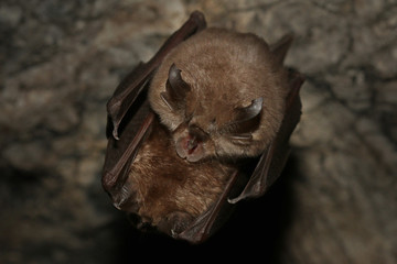 Couple of Lesser horseshoe bats on a close up horizontal picture. A rare mammal species occurring in European caves during mating. A rare picture of bat copulation.