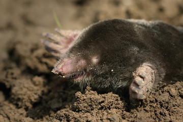 European mole on a close up picture. A common garden pest in its natural habitat on the horizontal picture. A blind mammal with large legs specialized for digging.