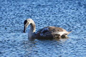 Swan on the lake Uvildy in November, Chelyabinsk region. Russia