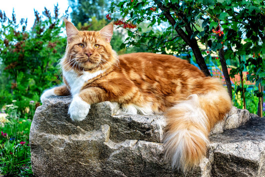 A huge red and white maine coon cat lying on the big rock in the forest on a sunny day.