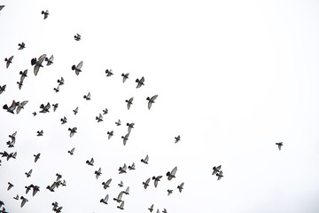 Wall Mural - A flock of pigeons flies across the sky. Birds fly against the sky. A large group of birds of pigeons flies across the sky on a white background.