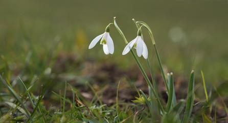 Zwei Schneeglöckchen auf der Wiese, Frühlingsblumen