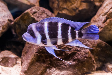 hump head cichlid fish in close, a blue and white banded fish with a bump on his head, popular aquarium pet from lake Tanganyika in Africa.