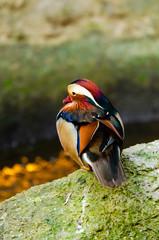 Male mandarin ducks