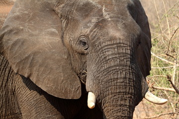 Afrikanische Elefanten in der Savane