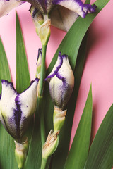 Iris blue flowers bouquet on pink above