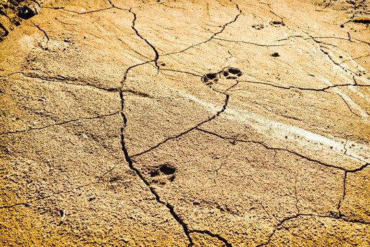 Footprints of animal on very dry desert ground, Hot summer day