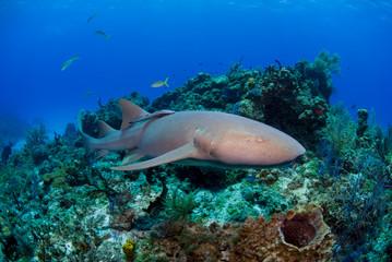 Nurse shark swimming along the reef