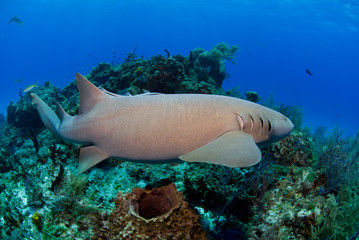 Nurse shark swimming along the reef