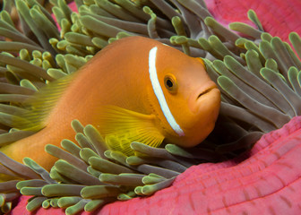 Maldives Anemonefish in its anemone