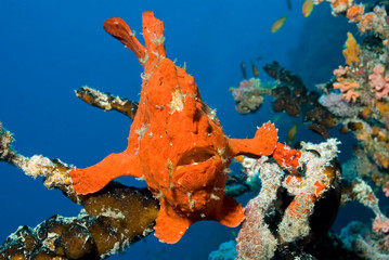 Camouflaged red giant frogfish / anglerfish sitting on a coral