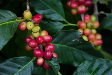 Red cherry Arabica coffee bean at at hill tribe village in northern part of Thailand. Arabica beans are grown in northern Thailand and robusta beans in the south.